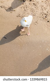 Seagull curious view at beach, bird shadow at sandy ground (copy space)