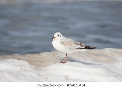 seagull cute on white snow sea