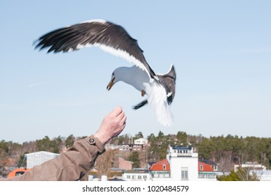 Seagull eats from your hand