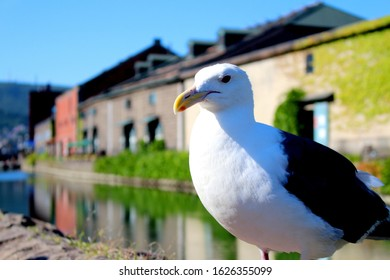 Seagull facing here with Otaru Canal in the background