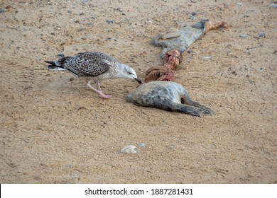 A seagull feed on the carcass of a Grey Seal (Halichoerus grypus)