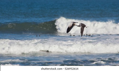 Seagull feeding on mussels by collecting then dropping on rocks from height along the Atlantic Coast in the Western Cape, South Africa