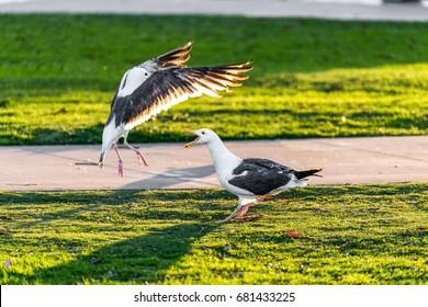 Seagull fight