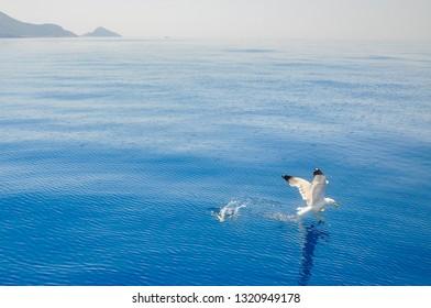 Seagull fishing antalya turkey