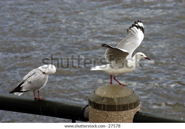 Seagull flapping wings.