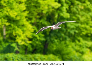 seagull flies against the background of trees