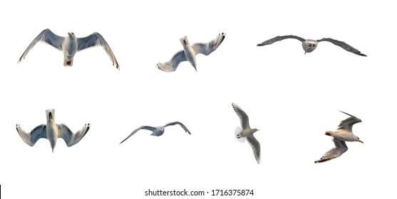 Seagull flies in the sky image set . Bottom view on a background of clouds silhouette of a seagull. Isolated image on a white background.