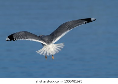 seagull in flight Ammersee Bavaria, germany