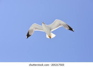 A seagull in flight in the blue sky