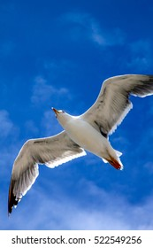 Seagull in flight with the blue sky background