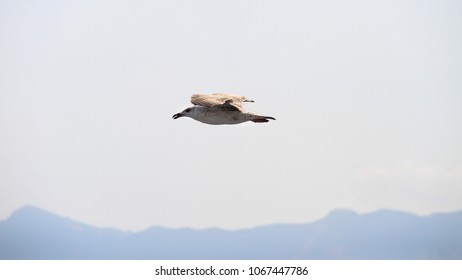 Seagull in flight on clear sky
