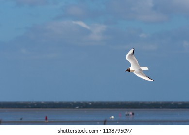 Seagull in flight over the beach in Cuxhaven, Germany. Flying white bird in the air on the background of the North Sea