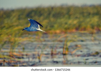 Seagull in flight over Lake Okeechobee in Florida, with grass and reeds in background