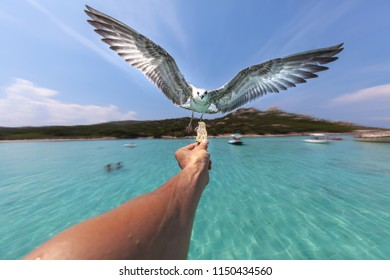 Seagull in flight, swooping towards food held in a person's hand. Marine background with blue sky.