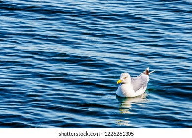 Seagull floating in the Oosterschelde at Neeltje Jans island in Zeeand Province in the Netherlands