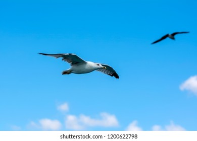 Seagull flock on blue sky background. Seagulls flying in blue sky. Flock of seagulls in sky