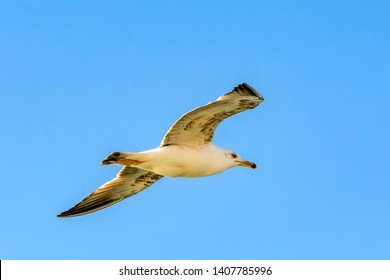 Seagull flock on blue sky background. Seagulls flying in blue sky. Flock of seagulls in sky