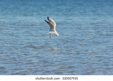 Seagull fly over lake