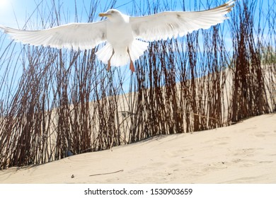A seagull flying away on the beach of one off the small Dutch islands, Texel