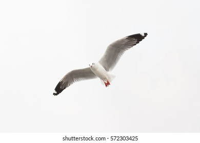 SEAGULL Flying bird Isolated on White Background Sky Symbol of Freedom Concept
