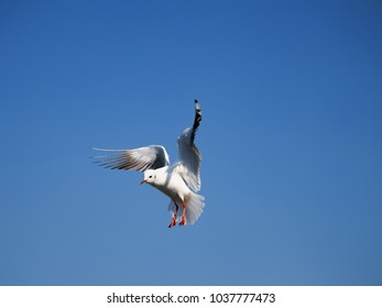 Seagull flying blue sky