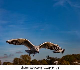 seagull flying, blue sky