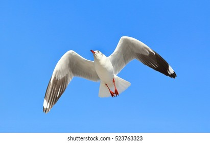 Seagull flying in the blue sky.
