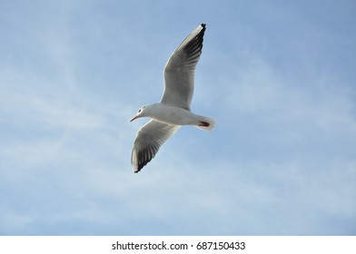 Seagull flying in a blue sky