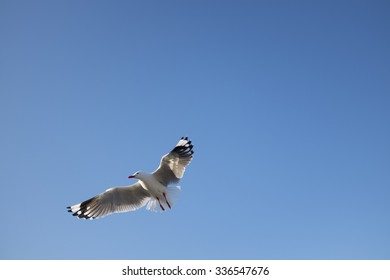 Seagull flying in the clear blue sky