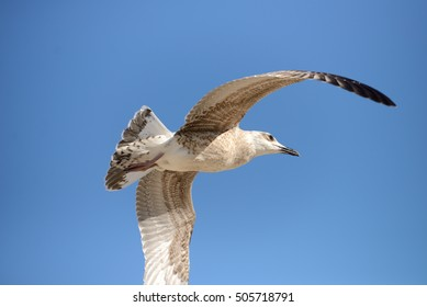 Seagull flying in the clear blue sky with wings spread over the sea. Freedom concept