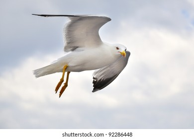 seagull flying, croatia