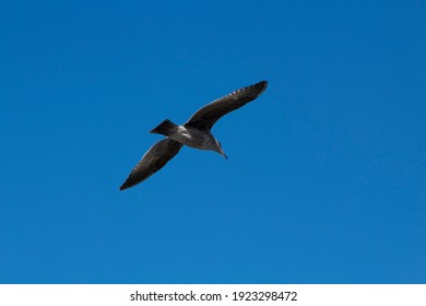 Seagull flying diagonally through vivid blue sky