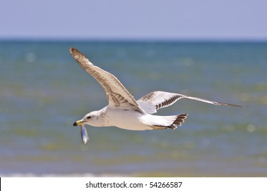 Seagull flying with freshly caught alewife