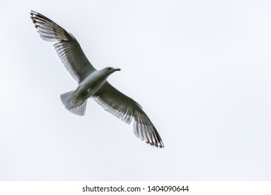 Seagull Flying in a Gray Sky