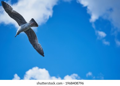 seagull flying high on the wind. flying gull. Seagull flying on beautiful blue sky and cloud.