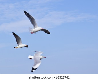 Seagull flying on beautiful blue sky and cloud