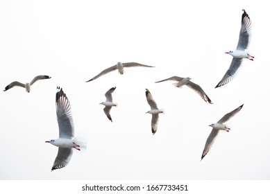 seagull flying on white background .