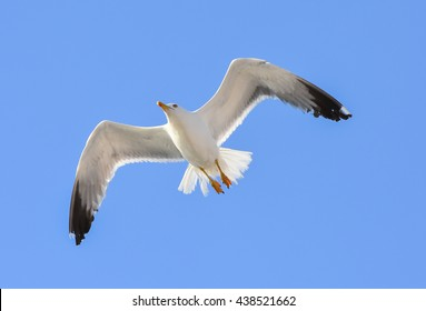 Seagull flying with open wings.