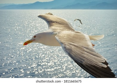 Seagull flying over the Aegean Sea - Thassos Island, Greece. Summer seascape