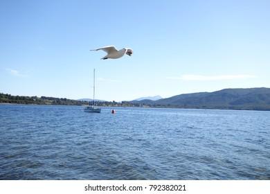 A seagull flying over the lake (Te Anau, New Zealand)