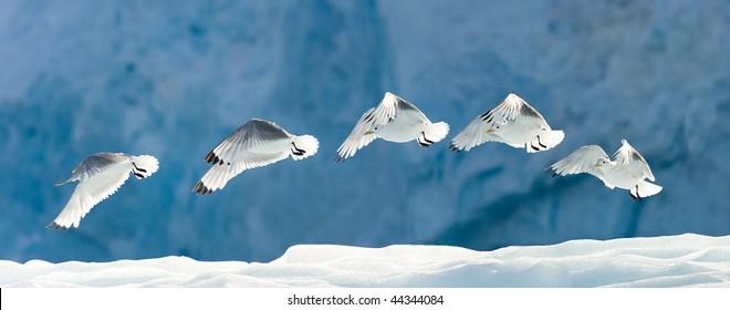 Seagull flying over snow.  Horizontally framed shot.