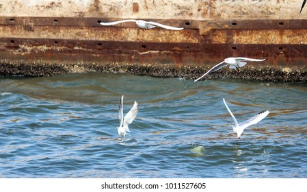 Seagull flying over the Suez Canal in Port Said, Egypt.