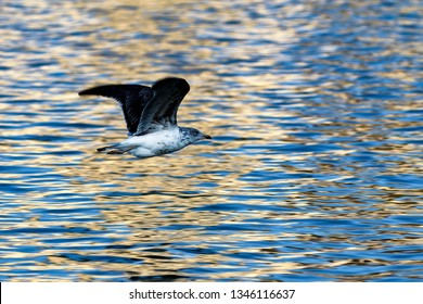 Seagull flying over water mirror with golden highlights at sunset