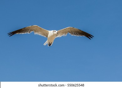 Seagull flying overhead in blue sky searching for food near the ocean