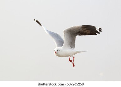 Seagull flying in the sky at Bang Pu,Thailand.