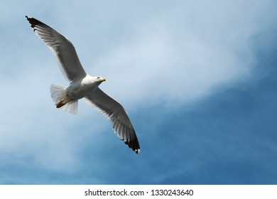 Seagull flying in the sky. Bird fly in the clouds