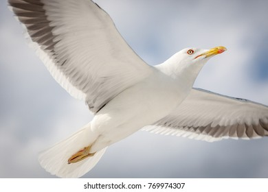 Seagull flying in the sky close up