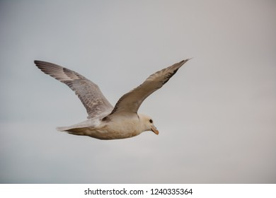 Seagull flying in sky with wings wide open on overcast cloudy summer day in Iceland, copy space, vintage feel.