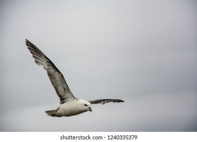 Seagull flying in sky with wings wide open on overcast cloudy summer day in Iceland, copy space.