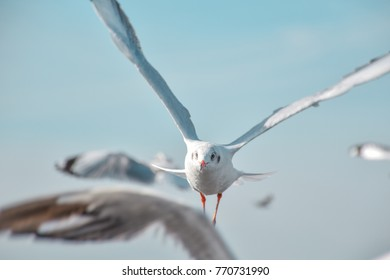 Seagull flying straight trough